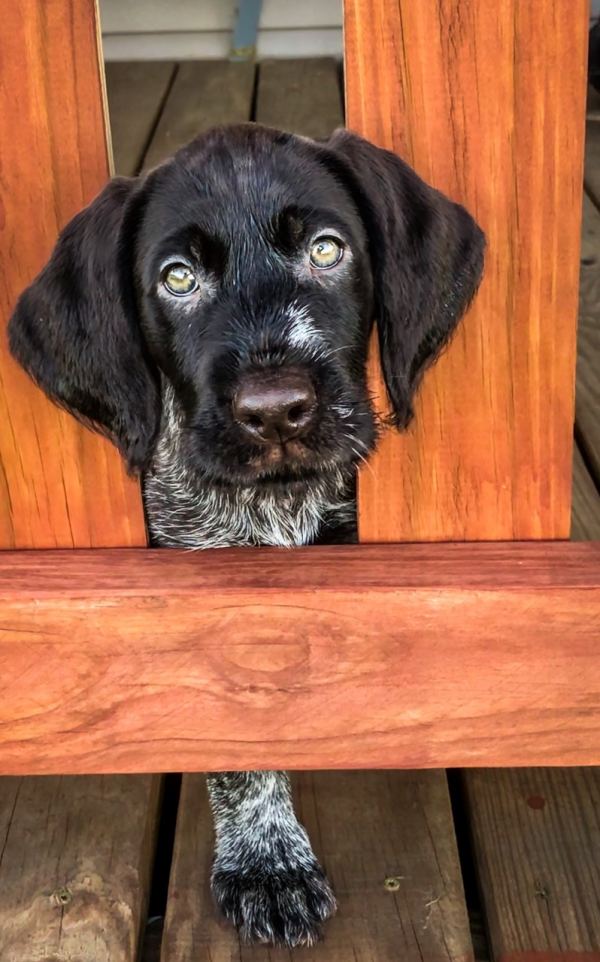 You're Getting Your First Gun Dog, Now What?