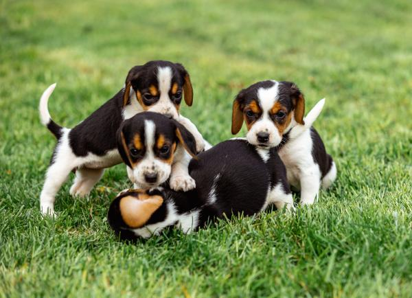 How to Pick a Beagle Puppy